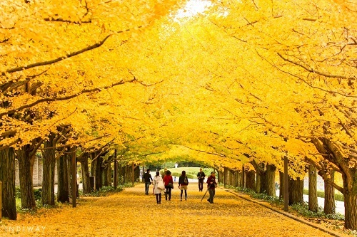 Thổn thức vẻ đẹp yêu kiều mùa thu ở đảo Nami - Hàn Quốc